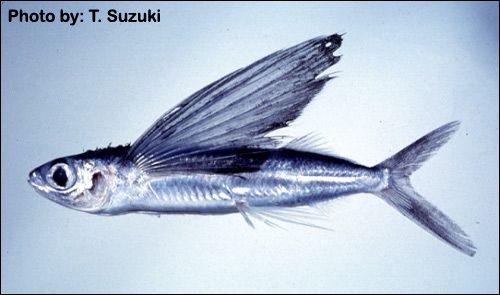 Сімейство летючі риби (exocoetidae)