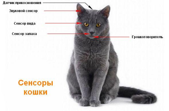 Сенсори кішки