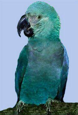 Сіро-блакитний гіацинтовий ара або аквамаріновийanodorhynchus glaucus