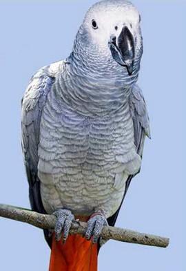 Сірі попугаірод psittacus