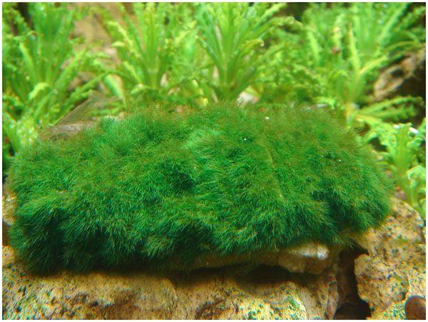 Куляста кладофора - оксамитові кулі в вашому акваріумі