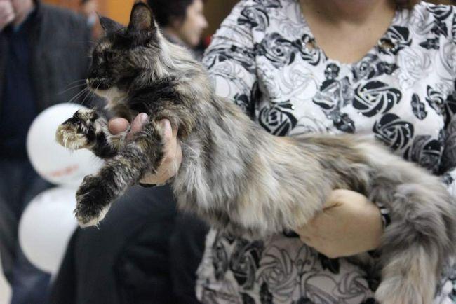 Шестипалий кіт з липецька підкорив благовещенск