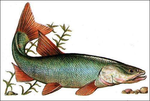 Щуковідний жерех (Aspiolucius esocinus), Малюнок картинка риби