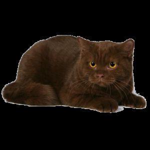 Шоколадний забарвлення британських кішок