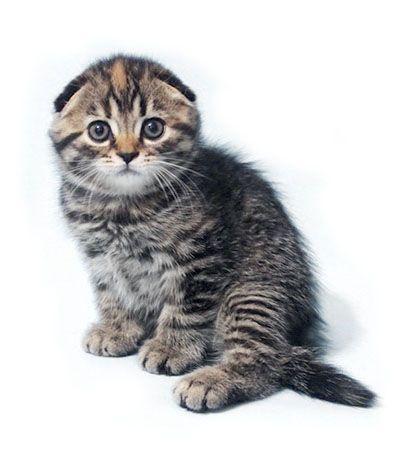 висловуха кішка забарвлення черепаховий