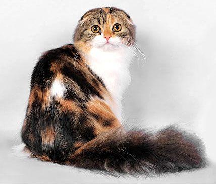 черепахова кішка