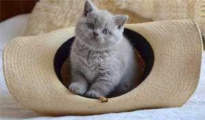 Шотландський кошеня страйт (з прямими вухами)