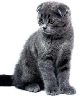 Блакитний шотландский вислоухий кошеня
