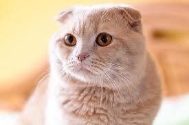 Шотландська висловуха кішка лілового забарвлення