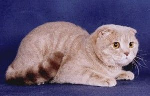 лиловая кішка