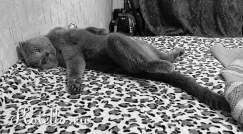 Шотландская вислоухая порода кошек.