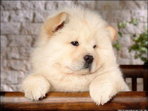 Шутцхунд: активність собаки