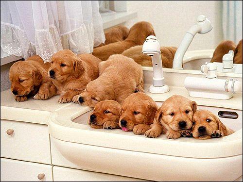 Шутцхунд: навчання собаки захисту