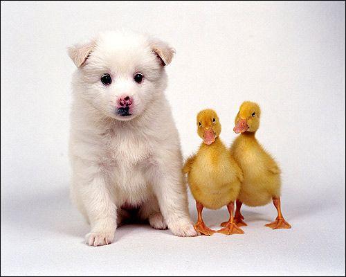 Шутсхунд: проблеми настрою слабкою собаки при роботі в укритті