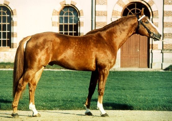 Шведська теплокровних коня