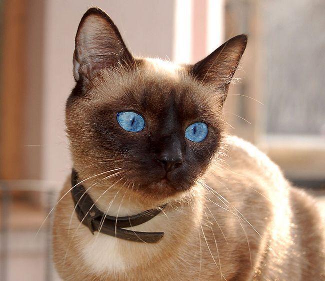 Каліфорнійська сяюча кішка фото