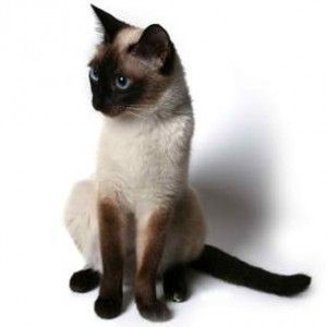 Сіамська порода кішок