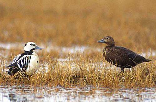 Сибірська гага - зовнішній вигляд самця і самки
