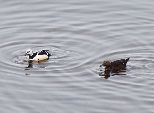 Самець і самка в воді