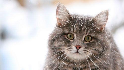 Сибірська кішка: опис виду, характеру і особливостей догляду