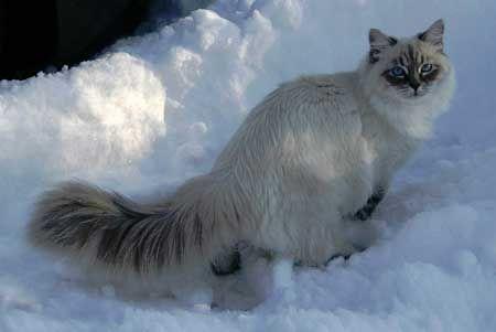 Сибірська кішка з колорпойнтовим забарвленням (блюпойнт)