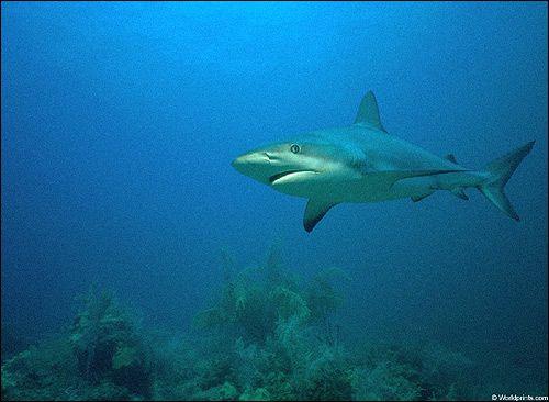 Підклас пластіножаберних риби (elasmobranchii)