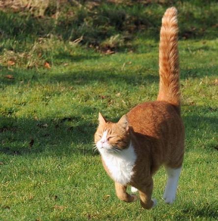 хвіст кішки