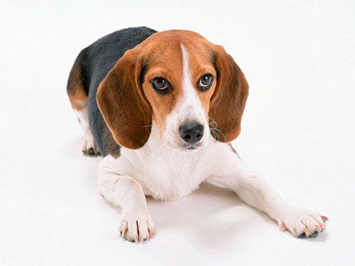 гіпотиреоз у собаки
