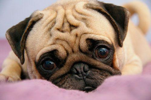 собаки в групі ризику по енцефаліту