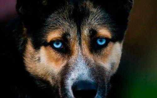 Симптоми, лікування і профілактика чумки у собаки