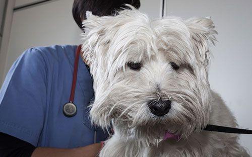 Лікування чумки у собаки