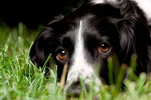 лікування бореліозу у собаки