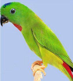 Сінеголовий висячий папуга або серендакloriculus galgulus