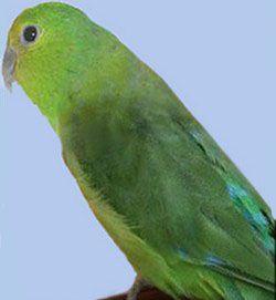 Синьогузні папужка або мексиканський воробьінийforpus cyanopygius