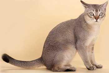 Кішка Сінгапурської породи
