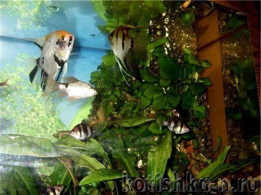 Скалярии і барбуси в одному акваріумі