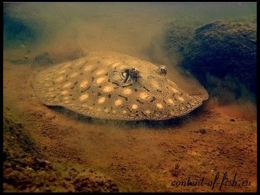 Скат акваріумний