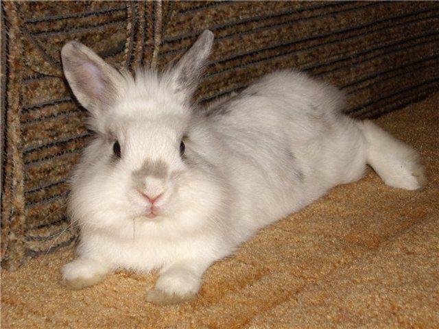 Хворий кокцидіозом кролик в траві