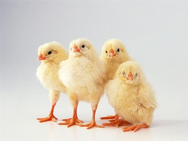 Чотири курчати поруч один з одним