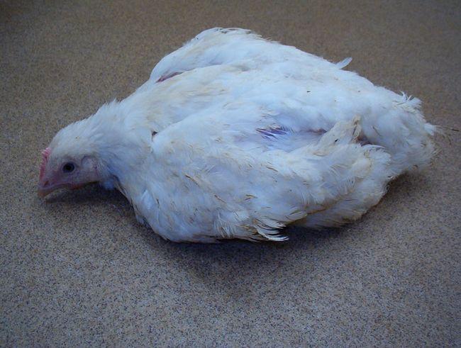 Курка лежить на підлозі через параліч