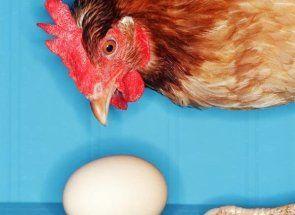 Скажімо «стоп» розкльову яєць: розбираємо всі можливі причини