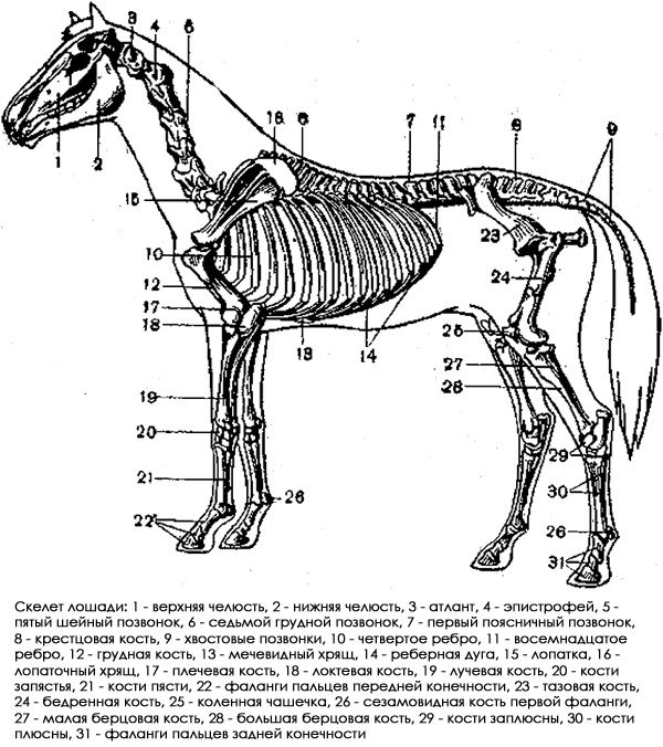 Скелет тварин