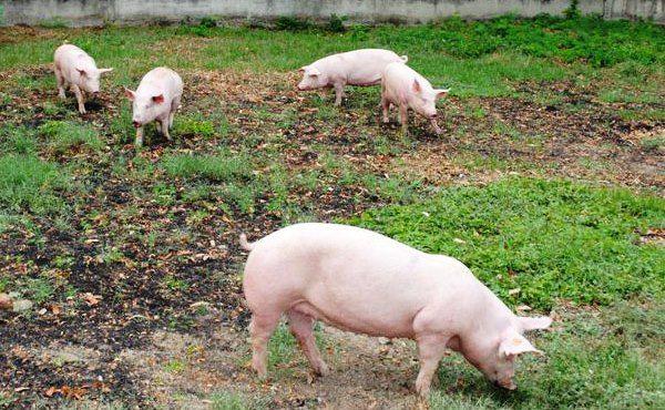 Скільки триває супоросность свиней?