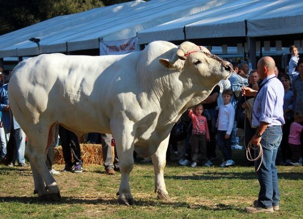 Скільки повинна важити корова?