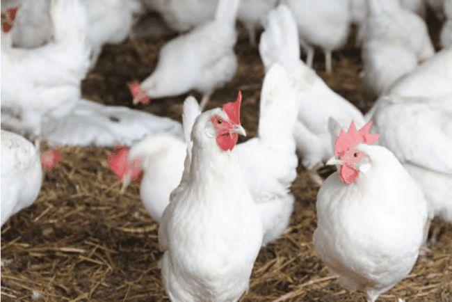 Скільки яєць чекати від курочки?