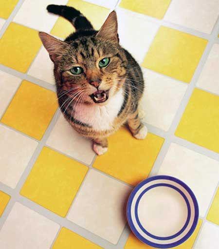 Скільки разів годувати кішку?