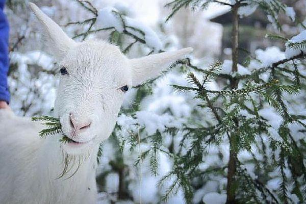 Скільки сіна потрібно козі на зиму: підбираємо ідеальний варіант