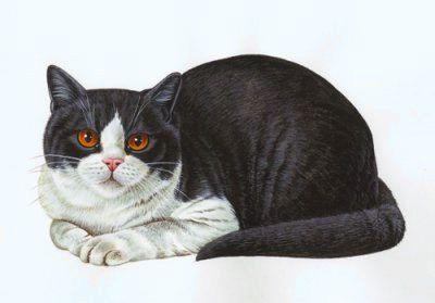 Британський кіт біколор