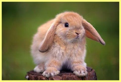 Скільки живуть домашні декоративні кролики: фото і відео