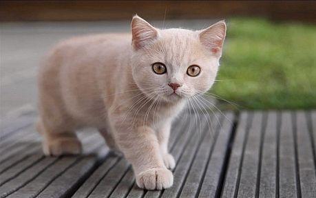 Скільки живуть кішки британської породи?
